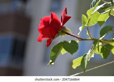 redrose, rose, flower,It is beautiful in flower branch.