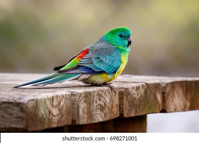 Red-rumped Parrot sitting on a picnic table in the Australian outback