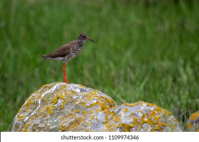 Redshank on Schiermonnikoog, the Netherlands