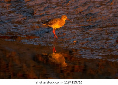 Redshank at sunset  with reflection in Norfolk salt marsh, UK