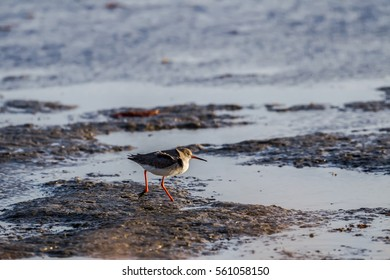 redshank (Tringa totanus) , in wetlands in Kalohori in north Greece with soft focus