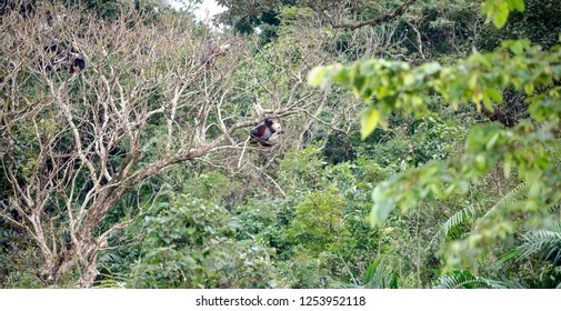Red-shanked Douc- Langur on Son Tra peninsula in Da Nang City, Vietnam