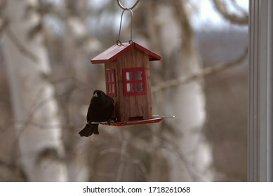 Red-shouldered blackbird at the feeder