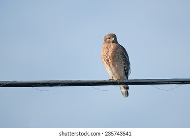 Red-shouldered hawk, buteo lineatus, on utility wire against blue sky
