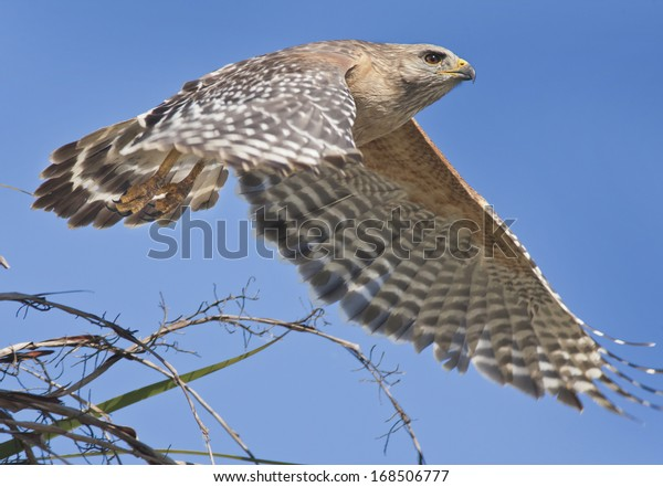 Red-shouldered Hawk just took off. Latin name-Buteo lineatus.