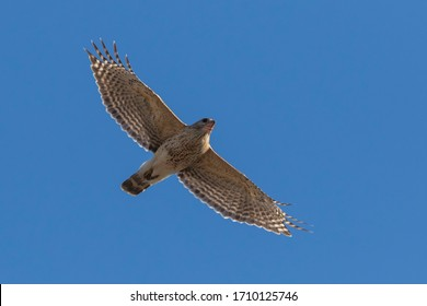 red-shouldered hawk pair in spring