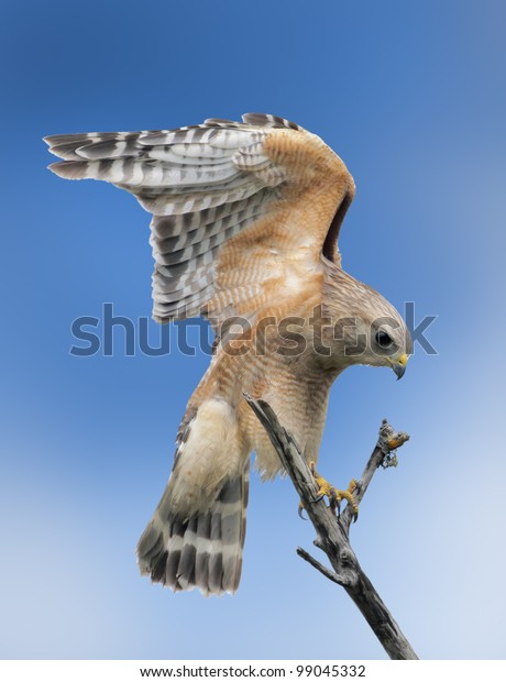 Red-shouldered Hawk stretching his wings. Latin name-Buteo lineatus.