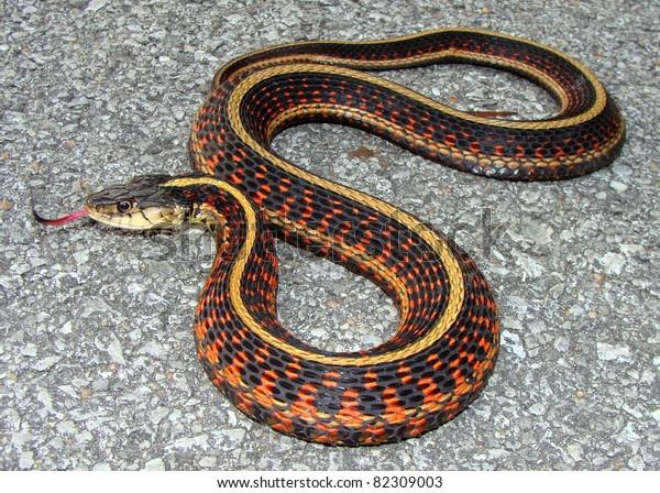 Redsided Garter Snake Thamnophis Sirtalis Parietalis Stock