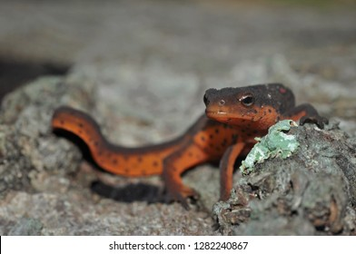 Red-spotted newt eft portrait