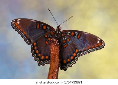 Red-spotted purple wing butterfly macroshot