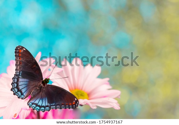 Redspotted purple wing butterfly on pink daisy