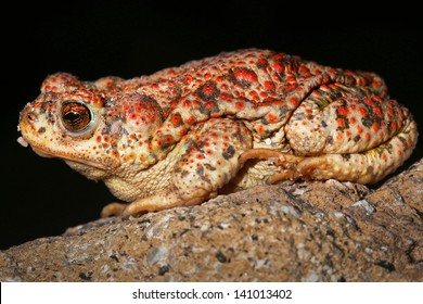 Image result for red spot toad