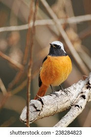 Redstart of Japan