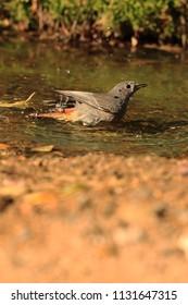 Redstart in lake