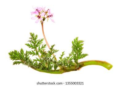 Redstem filaree, redstem stork's bill, common stork's-bill or pinweed (Erodium cicutarium). Pink wildflowers of weed isolated on white background.