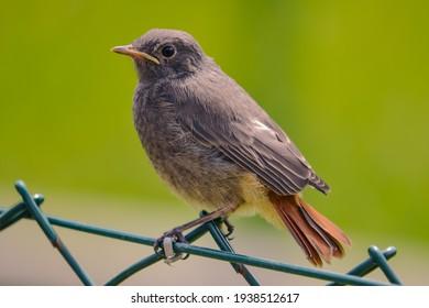Redtail bird sitting on a garden fence