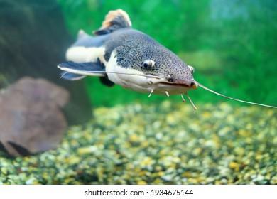 Redtail catfish in the aquarium. (Phractocephalus hemioliopterus). Freshwater fish