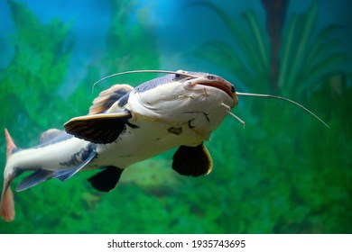 Redtail catfish in the aquarium. (Phractocephalus hemioliopterus). Freshwater fish. Selective focus