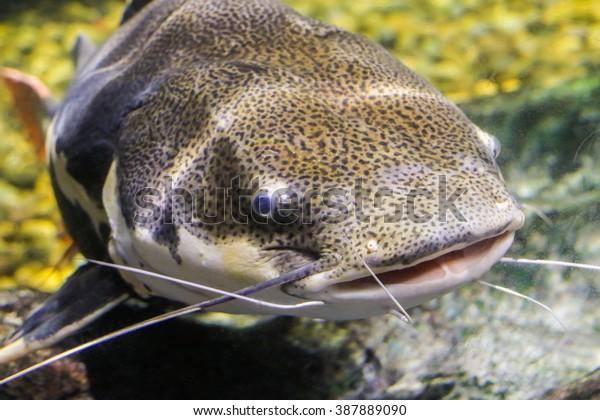 Redtail catfish (Phractocephalus hemioliopterus)