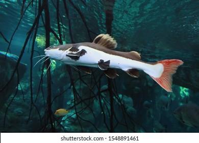 Redtail Catfish (Practocephalus hermioliopterus) in the freshwater aquarium