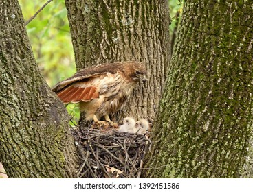 Red-Tail Hawk and chicks in nest, N.J.