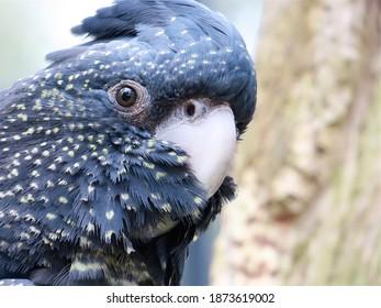 Red-tailed Black Cockatoo female head shot