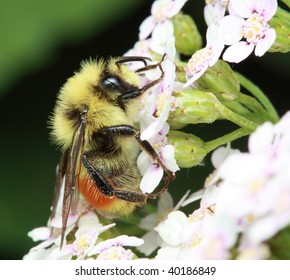 Red-tailed Bumble Bee - Bombus ternarius on small flowers.