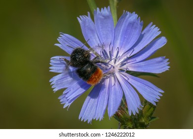 Red-tailed bumblebee (Bombus lapidarius) on a single sky blue flower of common chicory. Macro, close-up. Amsterdam South-East, the Netherlands