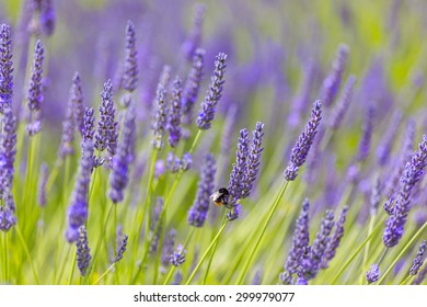 Red-tailed Bumblebee on lavender, Cotswolds, England, UK.