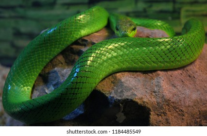 Red-Tailed Green Rat Snake, Gonyosoma Oxycephalum
