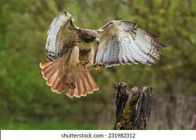 Red-tailed hawk about to land. A magnificent red-tailed hawk prepares to land on a tree stump.