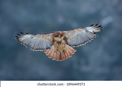 Red-tailed hawk, Buteo jamaicensis, landing in the forest. Winter wildlife scene from nature.  Flying bird of prey above the field meadow, Alaska, USA.