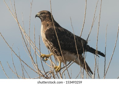 A Red-tailed Hawk (Buteo jamaicensis) perches in the top of a deciduous tree in order to scan for prey at the Sacramento National Wildlife Refuge in Central California.