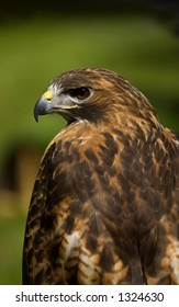 Red-Tailed Hawk (Buteo jamaicensis) Profile