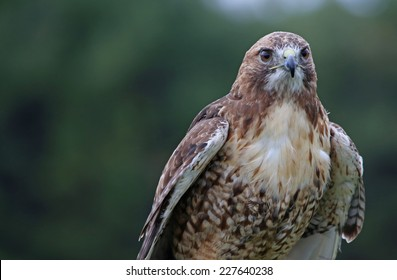 A Red-tailed hawk (Buteo jamaicensis) profile shot.