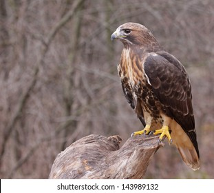 A Red-tailed hawk (Buteo jamaicensis) sitting on a stump.