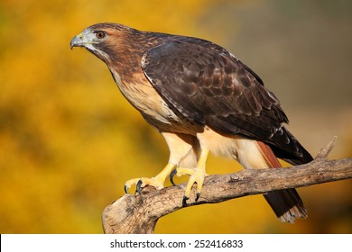 Red-tailed hawk (Buteo jamaicensis) sitting on a stick