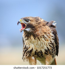 A Red-tailed Hawk Eating Prey with Mouth Open