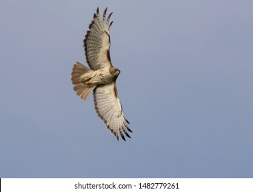 Red-tailed hawk in flight with completely spread wings in blue sky