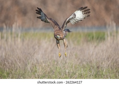 Red-tailed Hawk in Flight Pose