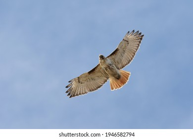 A red-tailed hawk flying above.