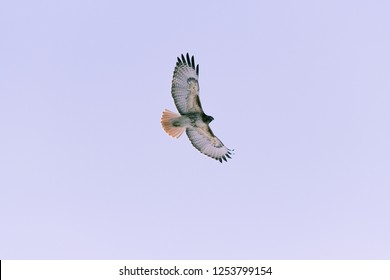 Red-tailed hawk flying near Denver, Colorado
