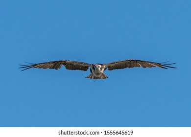 Red-Tailed Hawk flying straight at you in blue sky