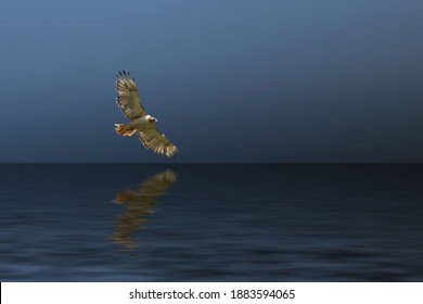 Red-Tailed Hawk glides over a lake. This is a digitally altered image.