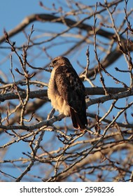 Red-Tailed Hawk at Jackson Bottom Wetlands Preserve