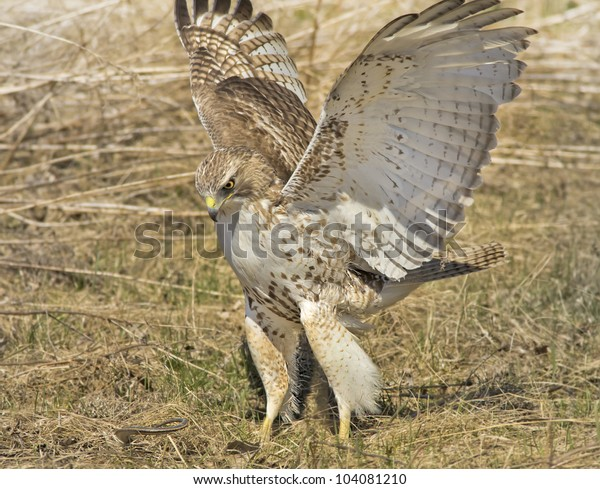 redtailed-hawk-juvenile-attacking-snake-