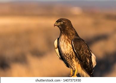 Red-tailed hawk. Klamath Basin National Wildlife Refuge. Oregon, Merrill, Winter