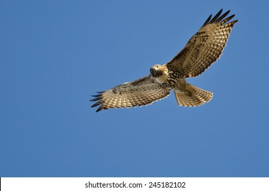 Red-Tailed Hawk Making Eye Contact As It Flies