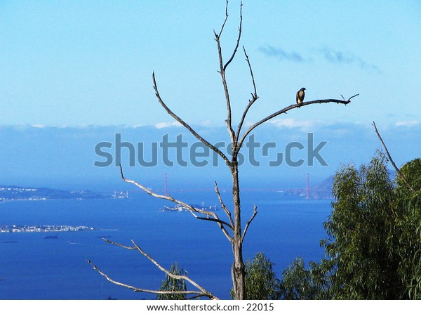 Red-Tailed Hawk perched in a dead tree, with the Golden Gate Bridge and Alcatraz Island in the background.