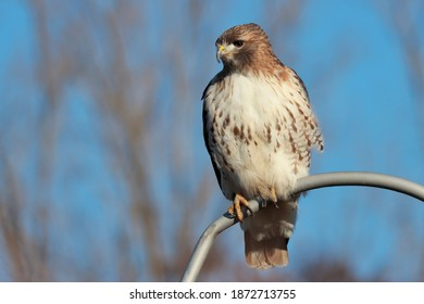 Red-tailed hawk perched on fence against blue sky.